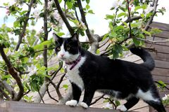 Black And White Cat Walking Along Wall. A black and white cat walking along a garden wall with apple blossoms in the background stock photos