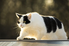 Black and white cat walking fence Stock Images