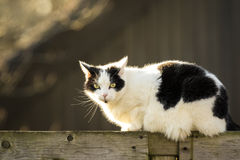 Black and white cat walking fence Stock Photography