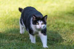 Black and white cat walking in gras stock image