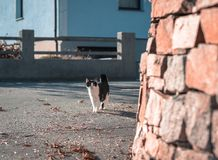 A black white cat walking though roads of a villiage. peeking cat, young, street road, looking interested, playful, adventering, h stock photos