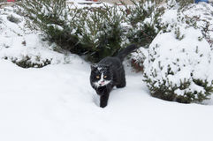 Black and white cat walking in winter Royalty Free Stock Photography