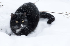 Black and white cat walking  in winter Stock Photos