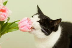 Black and white cat wants to eat. Pink tulip Royalty Free Stock Photo
