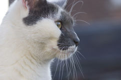 Black and white cat is watching the surrounding.  Royalty Free Stock Image