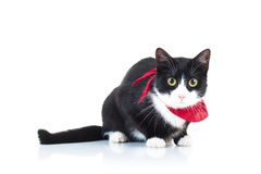 Black and white cat wearing red scarf Royalty Free Stock Photos