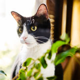 Black-and-white cat Royalty Free Stock Photography