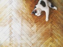 Black and White Cat on Wood Floor royalty free stock photo