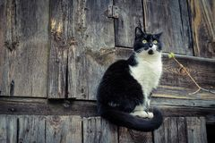 Black white cat on wooden background royalty free stock photo