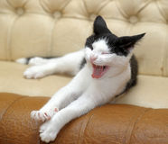 Black and white cat yawning Stock Image