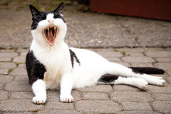 Black and White Cat Yawning Widely While Lying on Paving Stock Photos