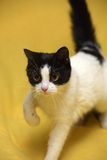 Black and white cat with yellow eyes Royalty Free Stock Photography