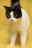 Black and white cat with yellow eyes Stock Image