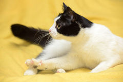 Black and white cat with yellow eyes Stock Images