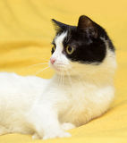 Black and white cat with yellow eyes Royalty Free Stock Image