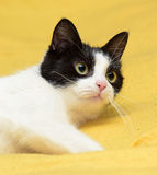 Black and white cat with yellow eyes Royalty Free Stock Photos