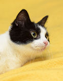 Black and white cat with yellow eyes Stock Photo