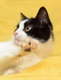 Black and white cat with yellow eyes Stock Photos