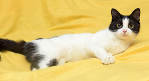 Black and white cat with yellow eyes Royalty Free Stock Photo
