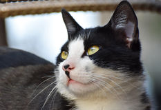 Black and white cat with yellow eyes looking up. Royalty Free Stock Images
