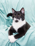 Black and white cat with yellow eyes lying swaggered. On pale green background Stock Images