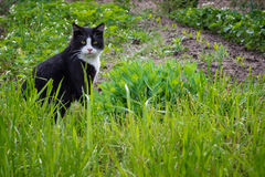 Black and white cat with yellow eyes sitting on green grass. Serious cat muzzle. Royalty Free Stock Image