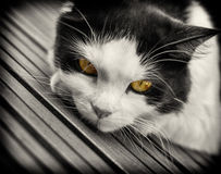 Black & White Cat with Yellow Eyes Stock Photos