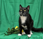 Black and white cat with yellow roses royalty free stock photo