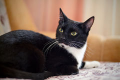 Black-and-white cat Royalty Free Stock Photos