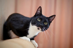 Black-and-white cat Stock Images