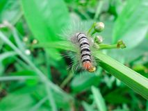 Black-and-white caterpillar Eating green flowers that are not blooming.  stock photography