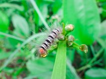 Black-and-white caterpillar Eating green flowers that are not blooming.  stock image