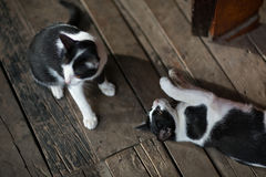 Black and White cats. Playing on a wooden floor Stock Images