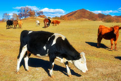 A black and white cattle Royalty Free Stock Photos