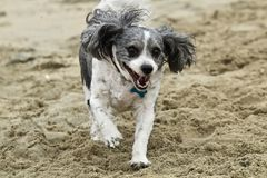 Black and white Cavachon Dog running on the beach. In Orange County california Stock Photos