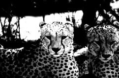 Black and White Cheetah Brothers Royalty Free Stock Photography