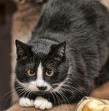 Black with a white chest  cat Royalty Free Stock Photos