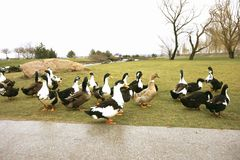 Black-white-chested ducks on green grass. Black white-chested ducks on green grass or lawn royalty free stock images