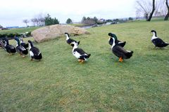 Black-white-chested ducks on green grass. Black white-chested ducks on green grass or lawn royalty free stock photography