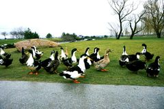 Black-white-chested ducks on green grass. Black white-chested ducks on green grass or lawn stock photos