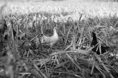Black and white chicken in black and white. Two Chickens in a field Stock Image