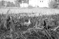 Black and white chickens in black and white. Birds in nature Stock Images