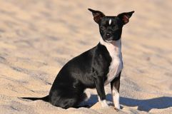Black and white chihuahua Royalty Free Stock Image