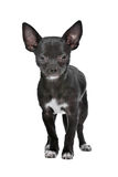 Black and white Chihuahua dog Royalty Free Stock Images