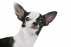 Black and White Chihuahua dog Stock Images