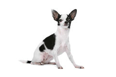 Black and White Chihuahua dog Royalty Free Stock Photography