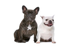 Black and White Chihuahua dog Stock Photography