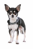 Black and White Chihuahua dog Royalty Free Stock Photos