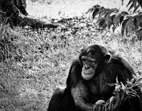 Black-and-white Chimpanzee. A Chimpanzee sitting while gazing into the distance royalty free stock image