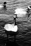Black and white close-up of a Canada goose. Beautiful black and white close-up of a Canada goose royalty free stock images